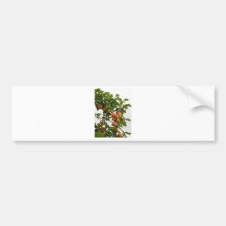 Rijpe abrikozen die op de boom hangen. Toscanië, Bumpersticker