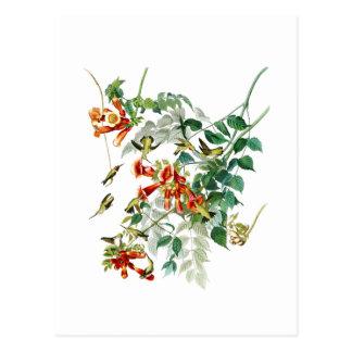 Robijnrood-Throated de Zoemende Vogels Amerika van Briefkaart