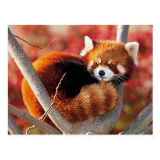 Rode Panda in een Boom Briefkaart