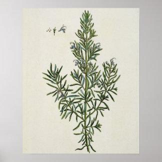 """Rosmarinus Officinalis, van """"Nieuwsgierige Kruiden Poster"""