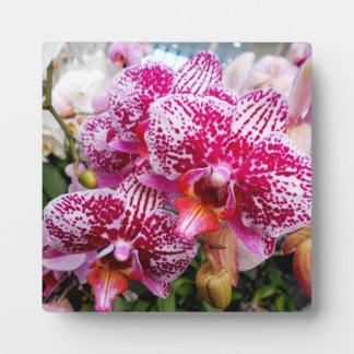 Roze Orchideeën Dendrobium Plaat