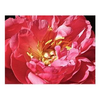 Roze Pioen, Briefkaart