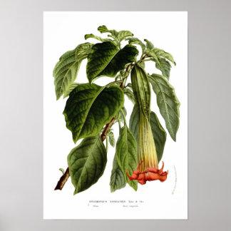 Sanguinea van Brugmansia (de trompet van de Engel) Poster