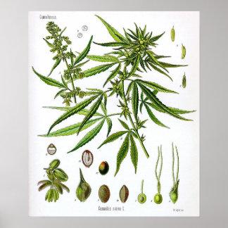 Sativa Tekening van de Plantkunde van het Plant Vi Poster