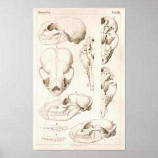 Schedels van Druk van de Anatomie van Zoogdieren Poster