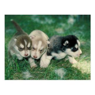 Siberisch Schor Puppy Briefkaart