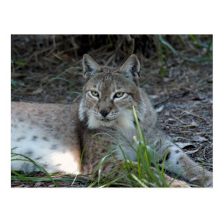 Siberische lynx 017 briefkaart