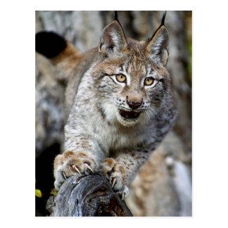 Siberische Lynx - Klaar op te springen Briefkaart