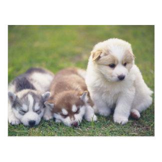 Siberische Schor; Een het werk hondenras dat Briefkaart