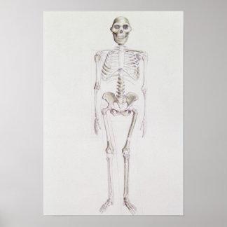 Skelet van africanus van de Australopitecus Poster