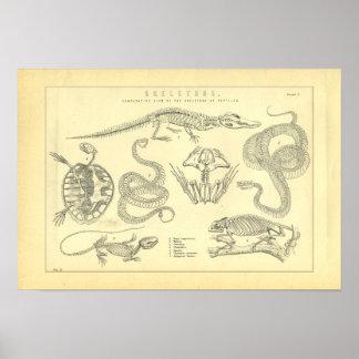 Skeletten van de Kikker van de Schildpad van de Poster