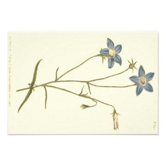 Slanke Blauwe Illustratie Bellflower Foto Afdruk
