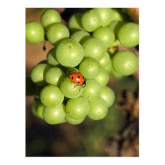 Sluit omhoog van dameinsect op de groene druiven briefkaart