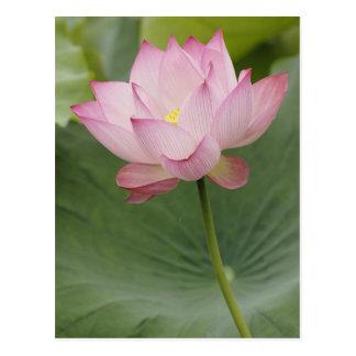 Sluit omhoog van de bloem van Lotus, nucifera Briefkaart