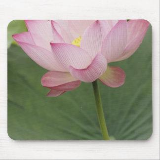 Sluit omhoog van de bloem van Lotus, nucifera Nelu Muismat
