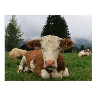 Sluit omhoog van het bruine en witte koe bepalen briefkaart