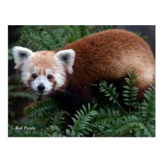 Smithsonian   Rode Panda Briefkaart