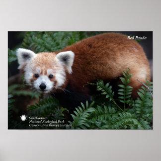 Smithsonian   Rode Panda Poster