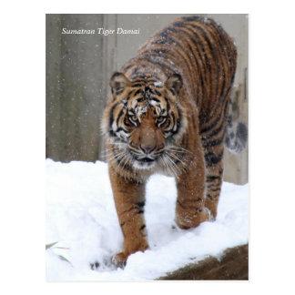 Smithsonian Tijger Sumatran Damai van   Briefkaart