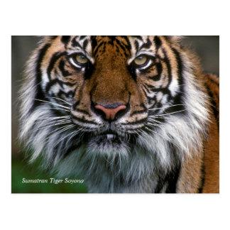 Smithsonian Tijger Sumatran Soyono van   Briefkaart