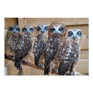 Southern Boobook Cross Eyed Owls Foto Prints