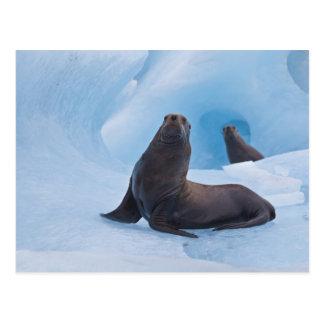 Speelse stellaire zeeleeuwenworsteling op ijsberg briefkaart