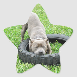 Staffordshire Bull terrier, Één Chomp, Ster Sticker