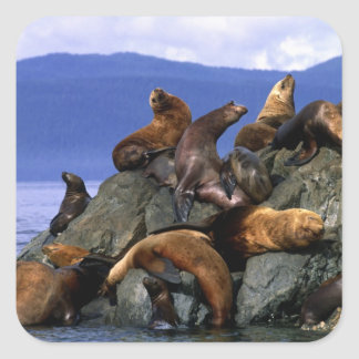 Stellaire zeeleeuwen Alaska; De V.S. Vierkante Sticker