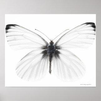 Studio die van scherp-geaderde witte vlinder is poster