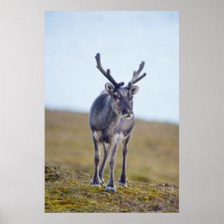 Svalbard rendier poster