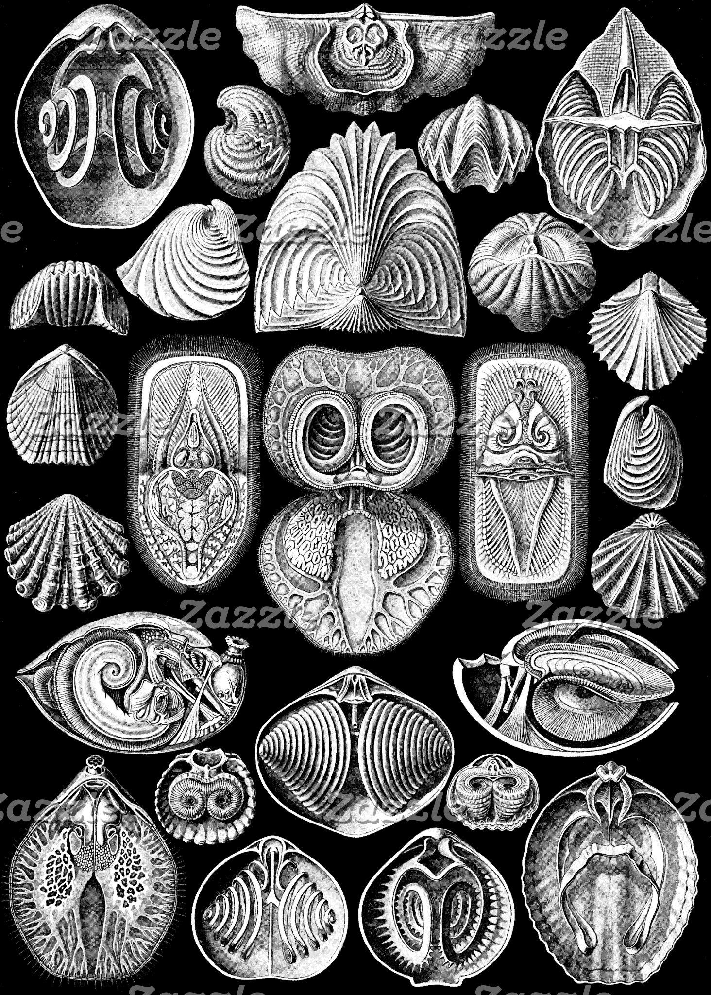 Ernst Haeckel Spirobranchia