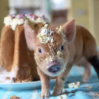 Funny pig and  the cake