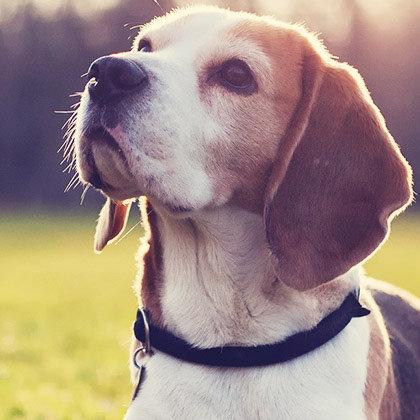 Beagle Lovers