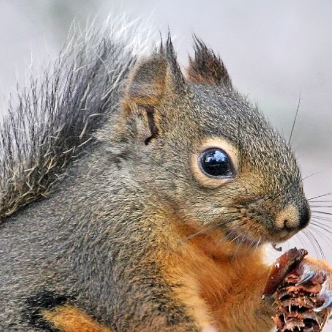 Squirrels/Chipmunks