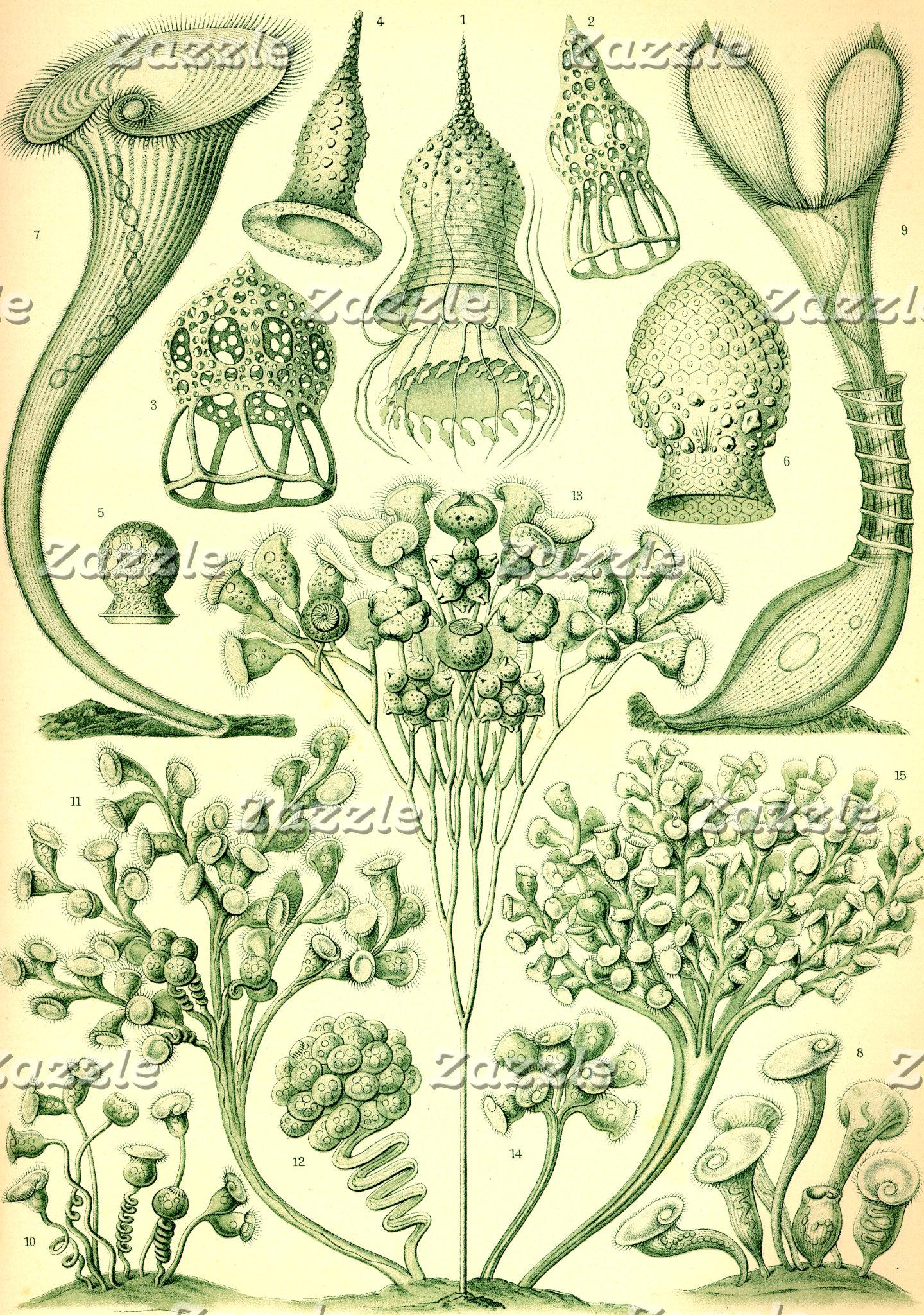Ernst Haeckel Ciliata