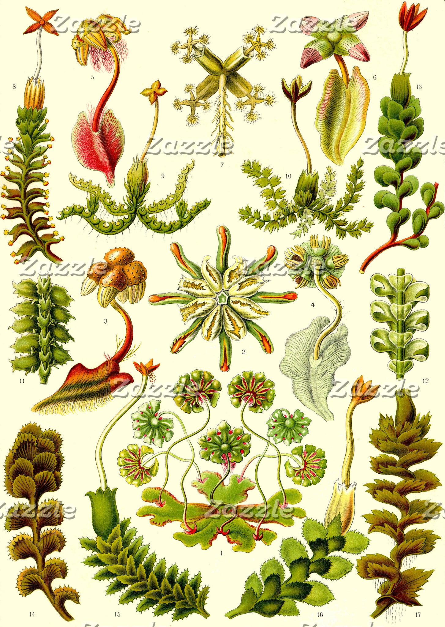 Ernst Haeckel Hepaticae