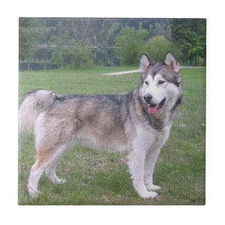 Tegel de van Alaska van de Hond Malamute Keramisch Tegeltje