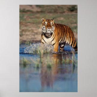 Tijger van India, Bengalen (Panthera Tigris) 3 Poster