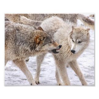 Toon Geen Vrees - Wolf Tonend Overheersing Foto Kunst