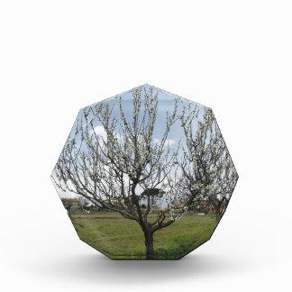 Tot bloei komende perenboom in de tuin Toscanië, Acryl Prijs