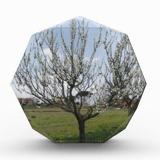 Tot bloei komende perenboom in de tuin Toscanië, Prijs
