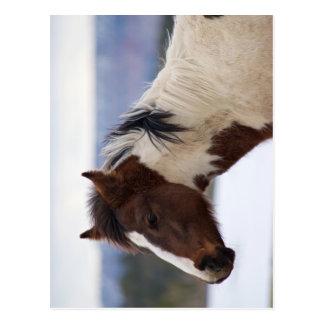 Tri-gekleurd Paard Briefkaart