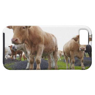 Troep van jonge witte koeien op Schots gebied Tough iPhone 5 Hoesje