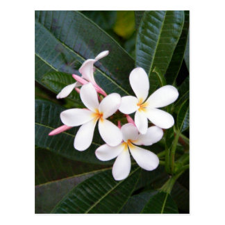 Tropisch Wit Hawaï, Roze, Geel, Plumeria Briefkaart