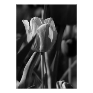 Tulp in Zwart-wit Poster