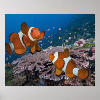 Twee Clownfish Poster