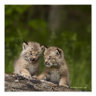 Twee Katjes die van de Lynx van Canada op een Poster