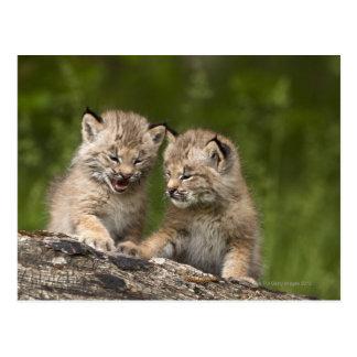 Twee Katjes van Canada van de Lynx (Lynx Briefkaart