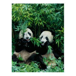 Twee panda's die bamboe eten samen, Wolong, 2 Briefkaart