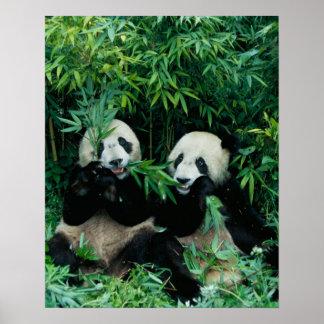 Twee panda's die bamboe eten samen, Wolong, 2 Poster
